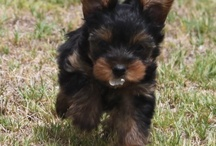 Cute Yorkie Puppy Lucy Growing Up / Our new puppy, a Yorkshire Terrier, is more terrier than lap dog.  This board follows it's transition from pup to grown up doggie. / by Bertus Engelbrecht