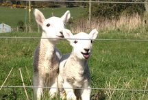 Farm Animals / Some characters you'll meet when exploring Balmeadowside Country Cottage and Lodges in Fife, Scotland