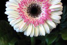 Flores Valentina