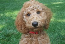 Louie Stroobie / Louie is a standard poodle who has many adventures and thoughts on life!