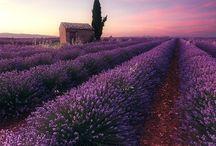 Lavender ♥♥♥♥