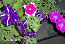 flowers from my virtual garden / Some flowers' photos made in my friends garden (in Corbi, near Victoria and Fagaras)