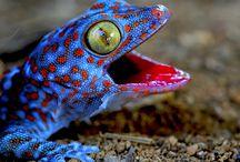Reptiles- Lizards, Geckos, Chameleons