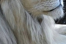 its lion. love. #king of the jungle