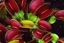 Carnivorous plants - Dionaea (Venus Fly Trap)