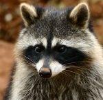 #Raccoon Control Apopka