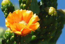 kaktusz. cactus