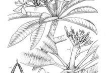 Botany Illustraciecia