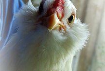 Poultry etc.