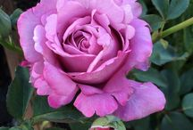American Rose Society Member Photos / This board will host all of the lovely blooms members have captured over the years! Fell free to share yours here: http://www.rose.org/about-roses/rose-gallery/upload-your-rose-photos/