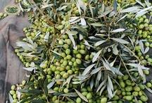 Raccolta delle olive - Stagione 2012