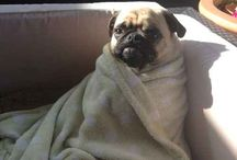 Pugs wrapped in towels.