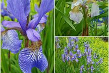 Perenner / Bilder på perenner att plantera i trädgården