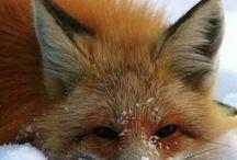Lisy Fox