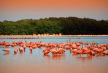 Pink Flamingos in Yucatan / Flamingos can be seen in the wetlands all along the Yucatan Peninsula in almost any month of the year.