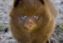Pomeranian & maltese
