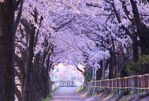JAPAN - CHERRY BLOSSOM