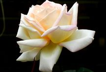 Roses / There is nothing like a rose.