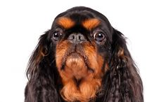 """English Toy Spaniel / The English Toy Spaniel is a square, snub-nosed toy weighing no more than 14 pounds. The large, domed head—with its long and lush ears, dark melting eyes, and chubby cheeks— is a famous breed trait. Another is a coat that comes in four varieties, each with its own proper name: red and white (Blenheim); black and tan (King Charles); white, black, and tan (Prince Charles); and a solid red (Ruby). Blenheims often have a red mark, the """"Blenheim Spot,"""" on top of the head."""