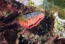 armpotigen(Brachiopoda)