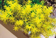 Les fleurs jaunes / Un coloris joyeux et lumineux au jardin ! Associez des plantes bleues, violettes, rose ou mauves pour des accords parfaits .