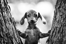 <3 Dachshund's <3 / by Lindsey Cooper