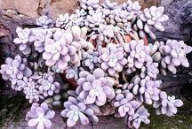 pachyphytum / succulents, cacti, garden, landscape, giromagi, nursery, made in italy