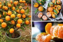 Portakal nadıl yerleştirilir