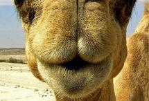Illustration - Karl the Camel / by Louisa Higgins
