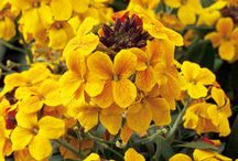 Erysimum / Great for pots. Flower from late winter to early summer in an array of gorgeous colors!