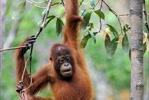 Ind Borneo