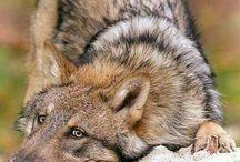 Love Wolves