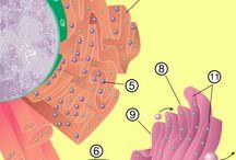 WikiCiências / A WikiCiências é uma enciclopédia digital com conceitos de ciência, escrita com rigor científico e didático, e destinada a professores e alunos de todos os níveis de ensino.  Os documentos distribuem-se pelas categorias de biologia, geologia, física, química e matemática.