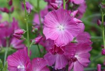 SIDALCEA / Varieties and Colours