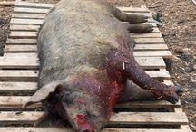 Zabijanie świń