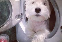 Westie / Nosso futuro cãozinho!
