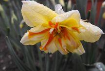 Nárcisz - Narcissus / Egy csokor a szebbnél szebb nárciszokból.