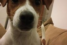 My Jack Russell Terrier ❤❤❤❤❤❤❤❤❤❤❤❤❤❤❤❤
