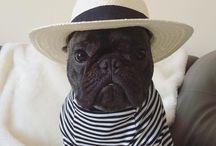 Foto franse bulldogs