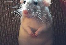 Ratties!