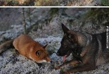 Dogs and foxes