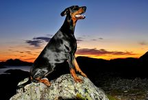 My Dobermans / My dog`s, all pictures made by me