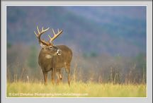 Photos - Wildlife - Deer / Photos of all members of the deer family including whitetail deer, mule deer, elk, moose, caribou, etc