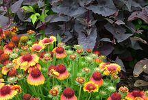 Gaillardia Combinations / Plant partnerships that include blanket flowers