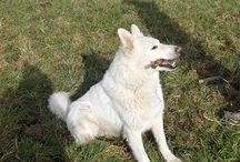 Ghost et Loup {berger suisse} / mes bergers suisses | my white suisse shepherds