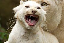 Lions ❤️ Löwen ❤️
