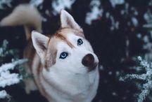 Serberian husky