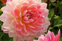 ~~Hapet® Elite Waterlily Dahlia   gorgeous pink and yellow container dahlia, perfect for sunny porches, balconies & terraces   Lubera Fruitful Gardening~~