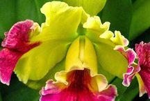 Orchideie