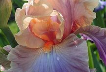 Iris my favorite flower / by Pam McMillan